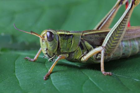 caelifera: Grasshopper perching on green leaf Stock Photo