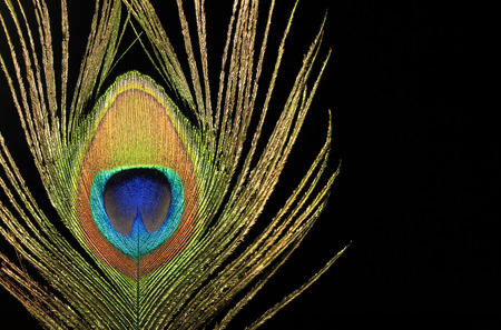 Close up of a peacock feather on black background