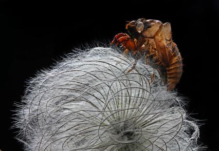 cicada bark on clematis seed head on black background