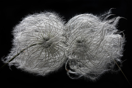 two clematis seed heads over black background Stock Photo