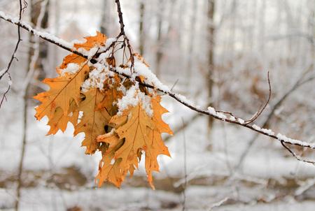 Autumn leafs under snow