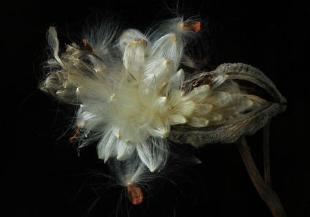 fantastic look of open milkweed pod against black Stock Photo