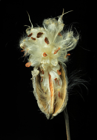 fantastic look of open milkweed pod against black Фото со стока