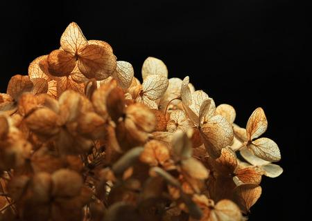 Dried Hydrangea on black background Stock Photo