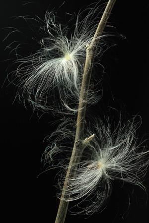 closeup of milkweed seeds against black