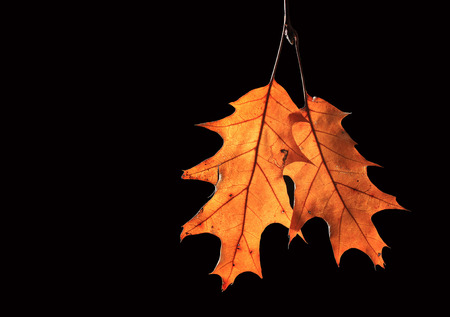 dried oak leafs on black background Stock Photo
