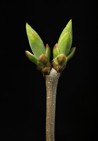 Swollen buds going to burst at spring isolated on black