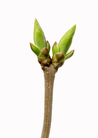 Swollen buds going to burst at spring isolated on white