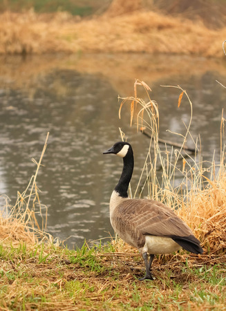 Canadian goose against the lake