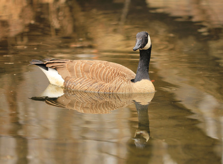 Canadian goose in water