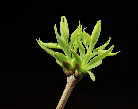 Spring green budding leaves on black background
