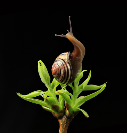 going up snail on green budding leaves