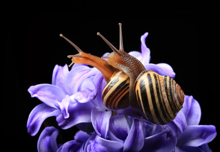 two cute snails on blue hyacinth isolated on black background