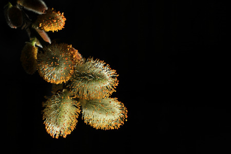 Pussy willow twigs isolated on black background
