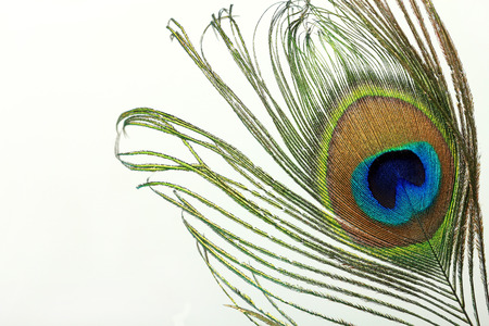 Beautiful exotic peacock feather on white background with copy space. Фото со стока