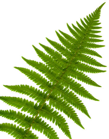 leaf fern isolated close up