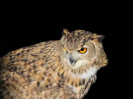 owl  looking alert