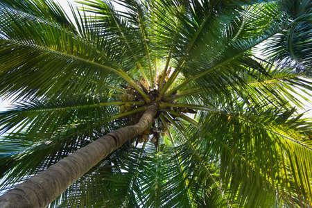 palm tree coconut Stock Photo - 16936381