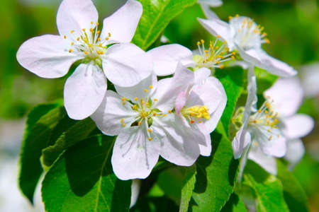 Flowering spring branch of apples