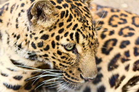 leopard head photo