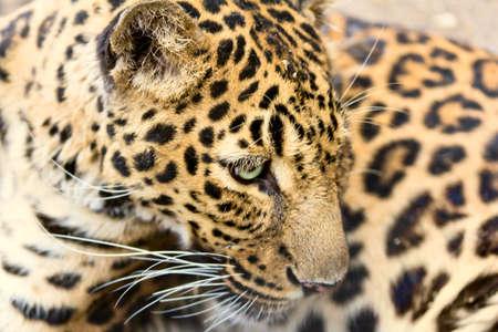 leopard head: leopard head