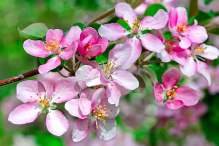 Flowering spring branch of apples photo