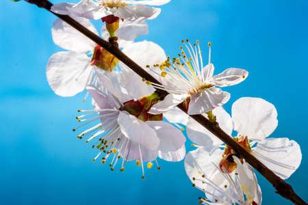 Flowering branch of cherry