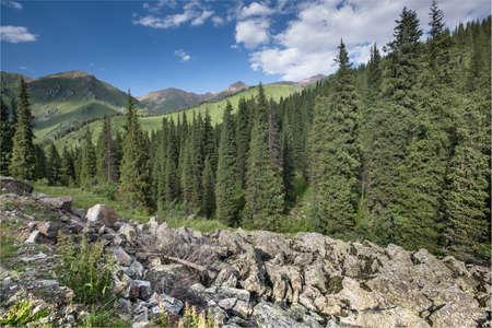 landscape tree aspen groves in rocky mountains  photo