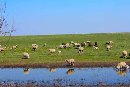 sheep  animal  grass  farm photo