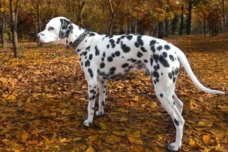 dalmatian: animal dog dalmatian pet
