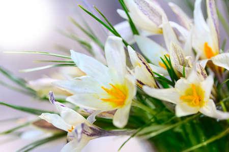 fiore di bucaneve Archivio Fotografico