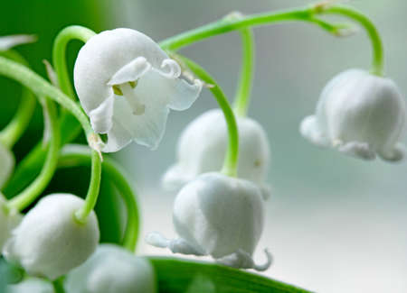 lily-of-the-valley  macro flowers Stock Photo