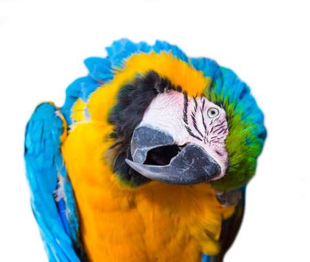 blue face: Parrot bird macaw