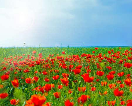 flower poppy nature meadow Stock fotó