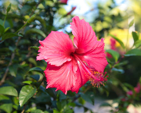 flower hibiscus red tropical