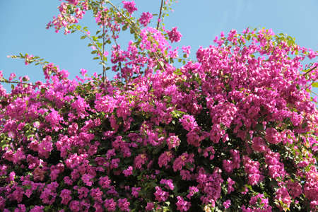 bougainvillea  flower tropical