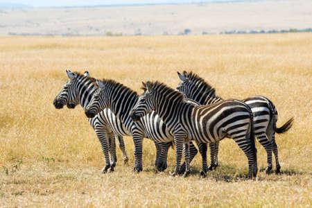 Plains zebra�s (Equus quagga) in Masai Mara, Kenya