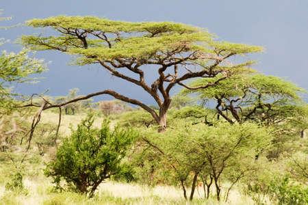 Acacia (Acacia tortilis) Stock Photo