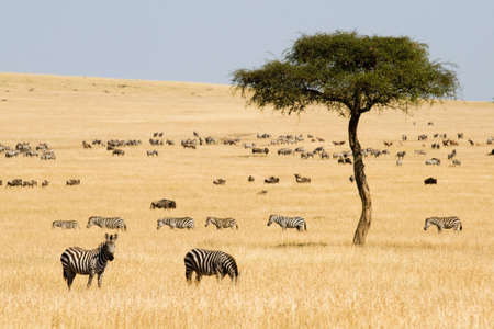 masai: Plains zebras (Equus quagga) and Gnus in Masai Mara, Kenya