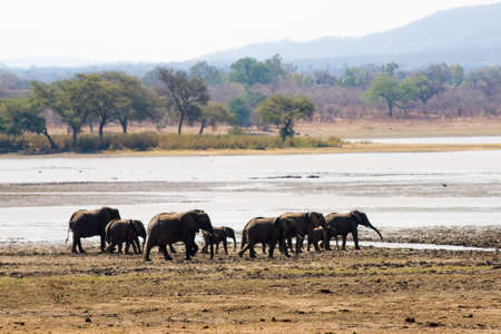 Elephants in Vwaza Marsh Game Reserve, Malawi Stock Photo