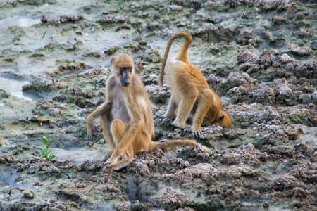 Baboon (Papio) in Lengwe National Park in Malawi