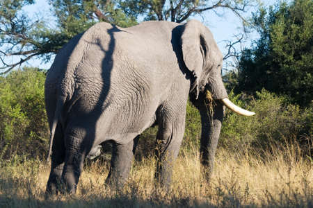 Elephant feeds on grass