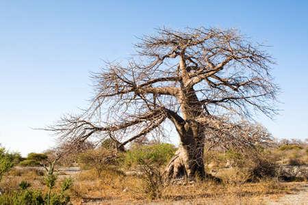 Baobab Tree on Kubu Island, Botswana