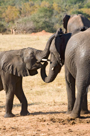 Mother Elephant and Young One in Hwange National Park