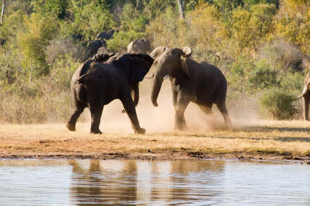 Elephants Fight Stock Photo