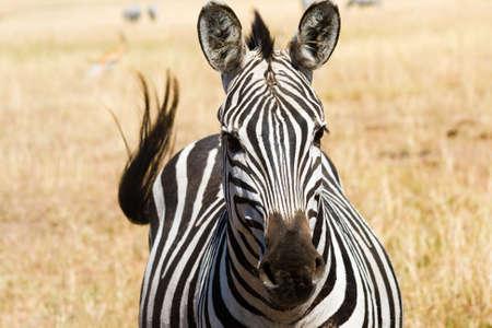 Plains zebra  Equus quagga  in Masai Mara National Reserve, Kenya Stock Photo