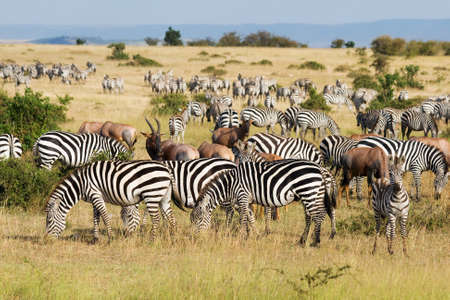 migrations: Great Migration in Masai Mara National Park, Kenya