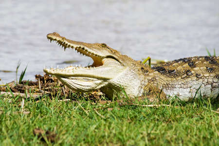 Crocodile at lake in Africa  photo