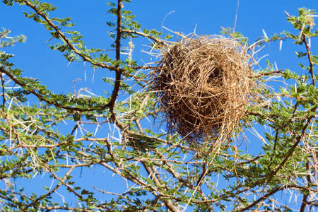 weaver bird nest: Bird nest of weaver in an african acacia tree