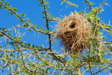 weaver bird nest: Bird nest of weaver in an african acacia tree with blue sky background Stock Photo